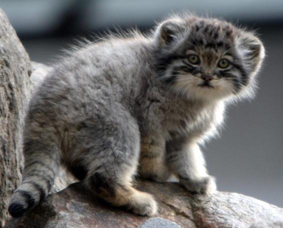Il Misterioso Gatto Di Pallas Esiste Davvero
